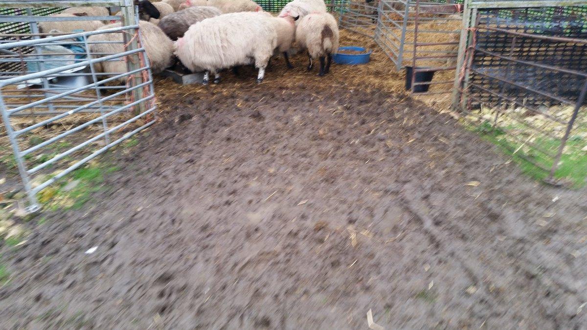 SHEEP & MUD 03
